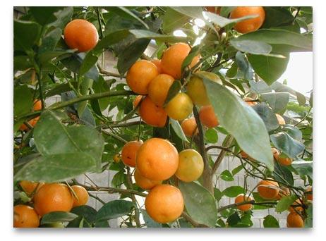 כמה ויטמין C יש תפוז ?